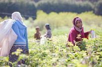 Ethiopie-rozenoogst-fair-trade